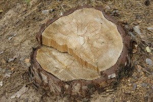 Stump removal in NH from Towle Hill Tree